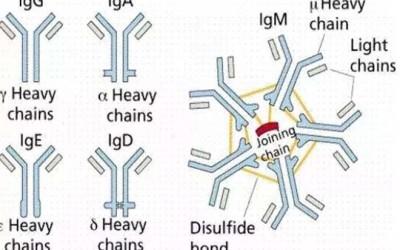 从自身抗体到自身免疫性疾病 (转载)